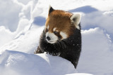 Red panda (Ailurus fulgens), also called the lesser panda, the red bear-cat, and the red cat-bear in winter