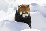 Red panda (Ailurus fulgens), also called the lesser panda, the red bear-cat, and the red cat-bear in winter