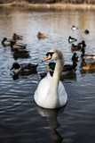 SWAN, WATER, POND, UTAH, WILDLIFE, BIRDS