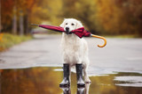 dog in rain boots holding an umbrella outdoors in autumn - 141461438