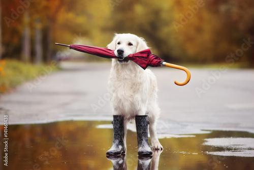 Fototapeta dog in rain boots holding an umbrella outdoors in autumn
