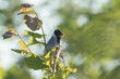 Male common reed bunting Emberiza schoeniclus has food for chicks
