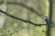 Kingfisher Alcedo atthi closeup