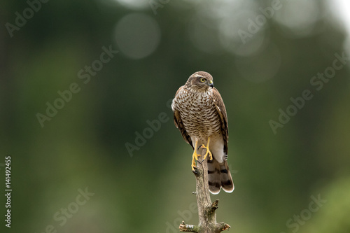 Sparrow hawk female Accipiter nisus sitting on a curved branch