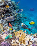 Colorful coral reef fishes of the Red Sea. - 141492655