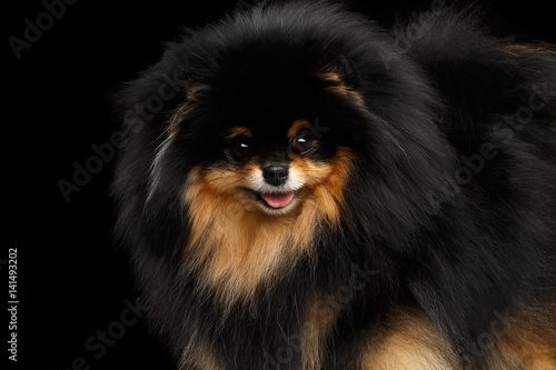 Poster Close-up Fluffy miniature Pomeranian Spitz Dog on Isolated Black background, fro
