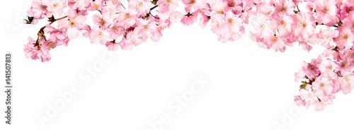 Leinwandbild Motiv Kirschblüten als Panorama Hintergrund