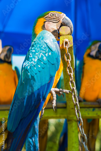 Papiers peints Chambre bébé Blue yellow macaw colorful bird