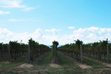 Winery vineyard at Yarra Valley in Victoria, Australia.