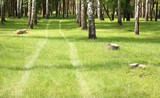 Green grass in birch grove in morning in early summer