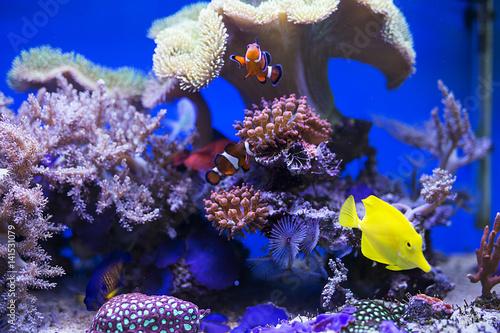 Póster Yellow tang fish in aquarium