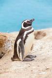 Magellanic penguin Valdez peninsula Argentina