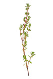 Thyme sprig isolated on white background - 141533268