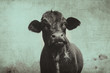 Cute angus cow on farm with vintage grunge effect.  Black heifer face against rural sky, great for background or print.