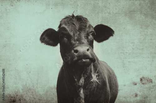 Cute angus cow on farm with vintage grunge effect.  Black heifer face against rural sky, great for background or print. - 141562608