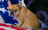 Frenchie on the Stars and Stripes