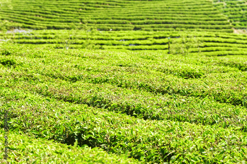 Green rows of bushes on tea plantation