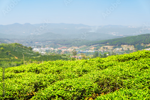 Amazing young bright green tea bushes at tea plantation