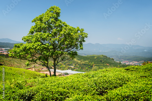Scenic tree among young bright green tea bushes