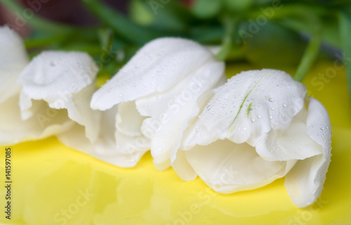 White tulips on a yellow background