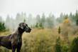 Great Dane dog standing by foggy forest