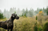 Great Dane dog standing by foggy forest - 141598633
