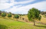 green pine trees in tuscany, italy
