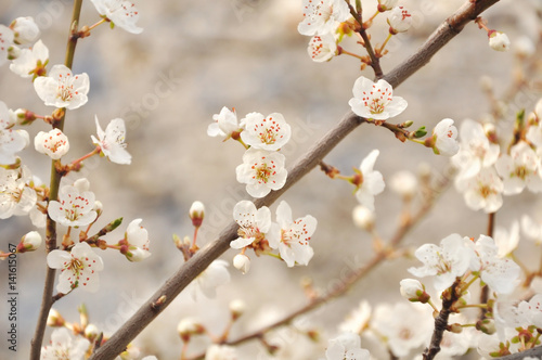 apple tree blossoms - 141615067