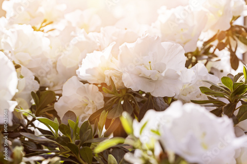 beautiful white flowers with the sun behind