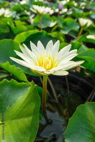 white lotus flower with green leaves.