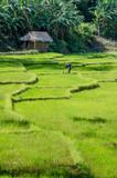 Terraced paddy filed and a farmer of kandy area of Sri lanka