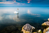 Swans on the lake Balaton in the sunset.