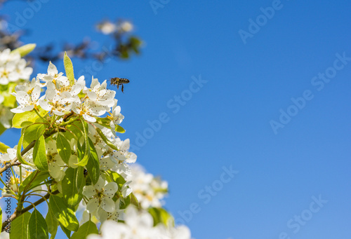 Bee flying near a pear tree flower - 141666883