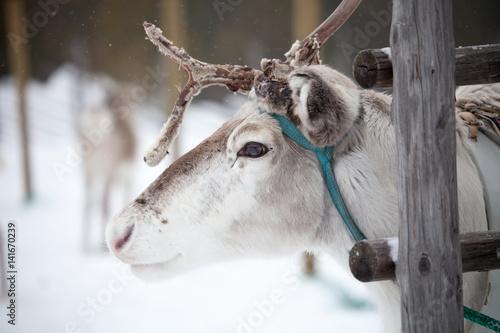 Foto op Aluminium Scandinavië Reindeer