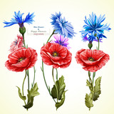 Poppy flowers and cornflowers illustration. Watercolor. Hand drawn. Set of three poppy flowers. Vector -stock.