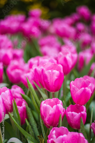 Foto op Aluminium Roze all tulips in the garden.