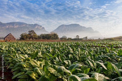 Poster Vineales Cuba tobacco plantation