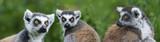 ring - tailed lemur (Lemur catta) - 141713828