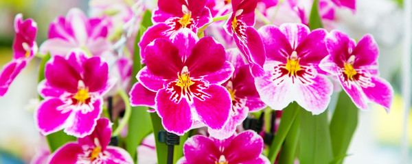 Panoramic banner background with beautiful close up white and purple orchid flowers © Kisa_Markiza