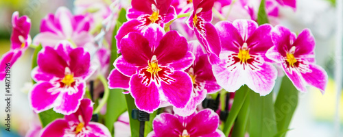 Panoramic banner background with beautiful close up white and purple orchid flowers - 141713896