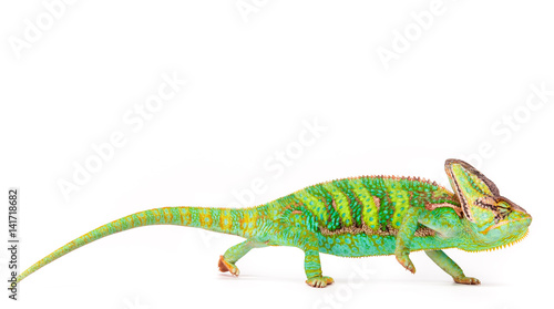 Zawoalowane kameleona (chamaeleo calyptratus) z bliska.