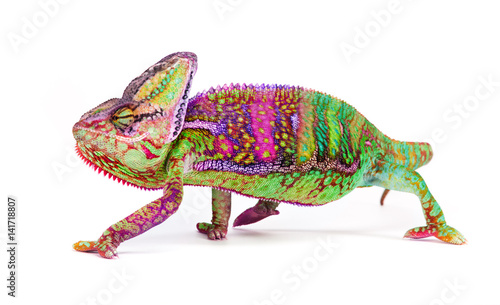 Veiled chameleon (chamaeleo calyptratus) close-up.