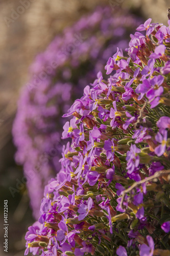 Foto op Canvas Natuur Apulian spring: Aubrieta columnae (or Aubrezia di Colonna) is flower endemic of Gargano promontory. It is tipical wildflower of Monte Sant'Angelo (Apulia), present only spontaneously in Italy.
