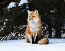 Red Fox Sitting on Snow in Sunny Winter Day