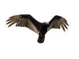 Turkey Vulture in Flight on White Background, Isolated - 141735085