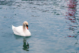 White Swan swimming in a lake.