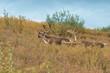 Barren Ground Caribou Bulls in Velvet