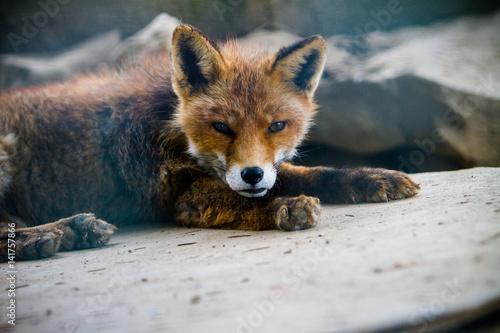 Poster ein verschlafener Fuchswelpe
