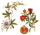 left: Blue Passion Flower (Passiflora caerulea) and right: Pomegranate (Punica granatum) / vintage illustration  - 141764832