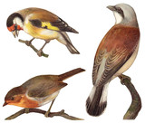 Bird collection - Goldfinch (Carduelis elegans), European Robin (Erithacus rubecula), Red backed Shrike (Lanius collurio) / vintage illustration